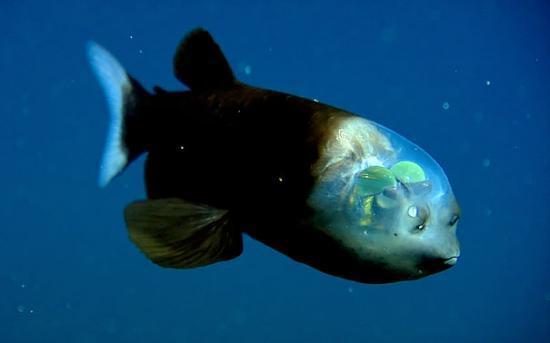 它是1939年首次被人类发现,由于这种不平常的深海鱼类在浅水域时其
