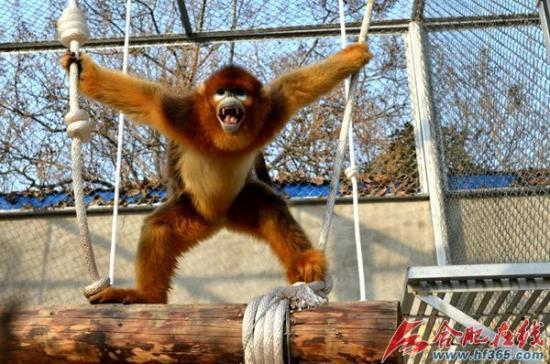 """六只""""国宝""""金丝猴入户合肥野生动物园"""